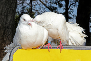 kiss of two white pigeon sitting on the yellow backrest outdoors