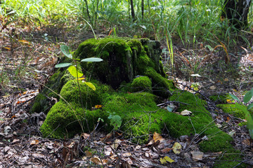 a stump covered with bright green moss among dry foliage and green grass in the background
