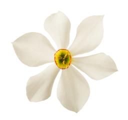 White daffodils flowers