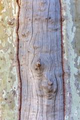 tronc de platane écorcé