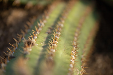 Close detail of a green cactus needles on its branch trunk