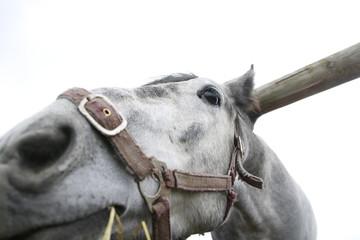 Muzzle of grey horse near a big haystack