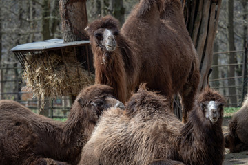 Bactrian camel (Camelus bactrianus) resting on the ground. Humps Bactrian camel