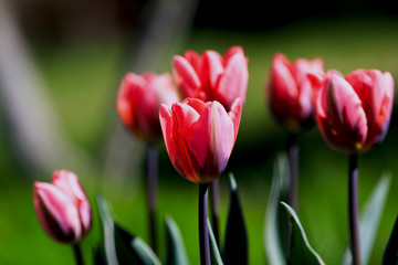 pink tulips with green leaves on a blurred nature background