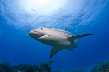 Caribbean reef shark in clear blue water with sun in the background