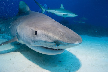 Tiger shark head shot in clear blue water with caribbean reef shark in the background