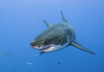 Great white shark very close head-on in clear blue water