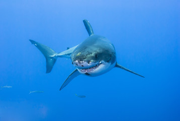 Great white shark showing its teeth in clear blue water
