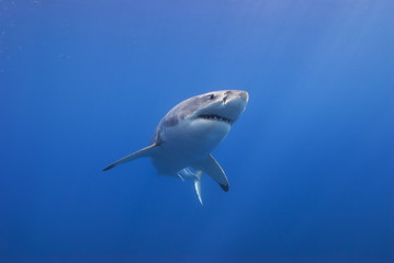 Great white shark from below head-on in clear blue water