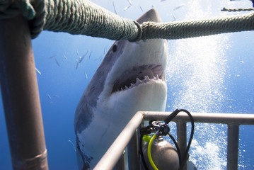 Great white shark showing its teeth in front of divers in a diving cage