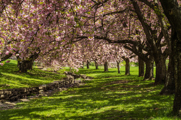 Pink cherry trees drape gracefully near a stone canal on a sunny spring day