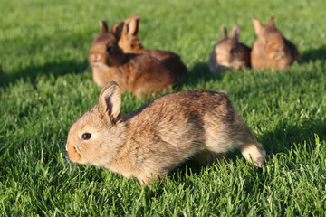 Young brown rabbits on green grass