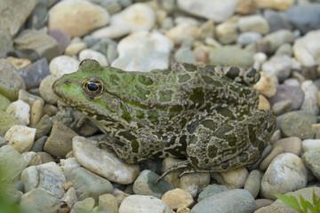 Wall Mural - rana esculenta - common european green frog