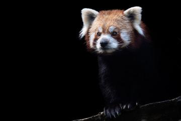 Tuinposter Panda Portrait of a red panda (Ailurus fulgens) isolated on black background