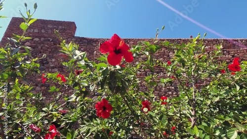 Hibiscus Flowers Moving Gently In The Wind Brick Wall In The