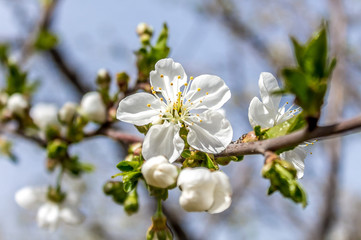 Flowers of cherry tree in spring nature