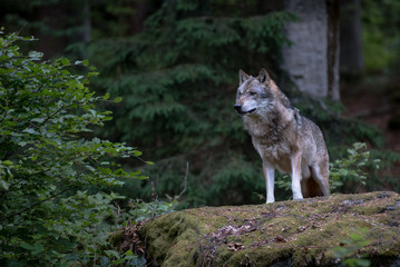 Wolf is standing on the rock in Bayerischer Wald National Park, Germany
