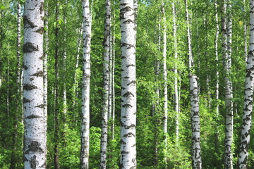 Tuinposter Beautiful birch trees with white birch bark in birch grove with green birch leaves in early summer