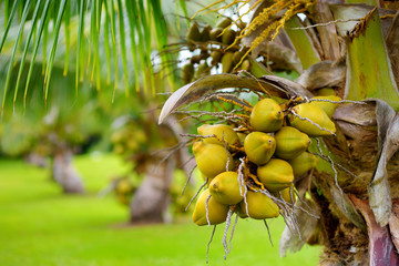 A bunch of coconuts ripening on a dwarf coconut tree on the Big Island of Hawaii