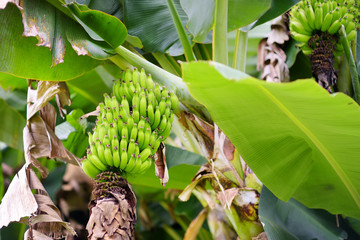 Bunch of ripening green apple bananas on a banana tree in Big Island of Hawaii