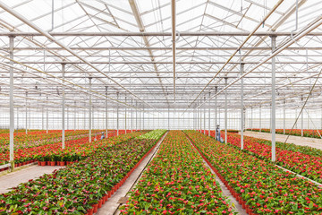 Anthurium plants in a greenhouse
