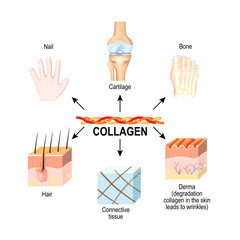 Collagen is the main structural protein in the: connective tissues, cartilages, bones, nails, derma and hair.