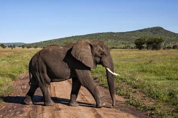 Elephant male walking in Serengti National Park in Tanzania in the green season