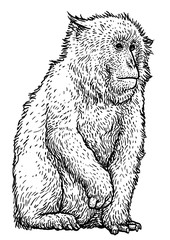 Japanese snow monkey macaque illustration, drawing, engraving, ink, line art, vector