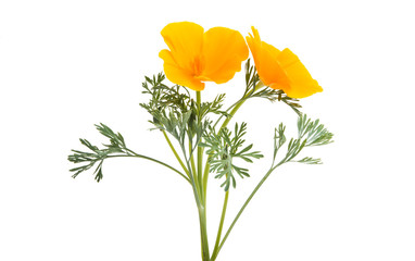 Spoed Fotobehang Klaprozen Californian poppy flower isolated