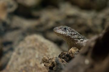 Gecko lizard in natural habitat close-up portrait