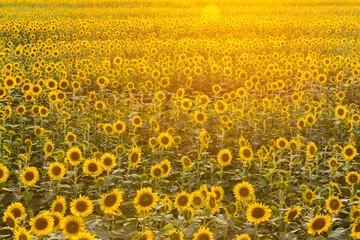 夕暮れの向日葵