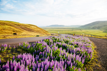 Magical blooming lupine valley glowing by sunlight. Location place south Iceland, Europe.