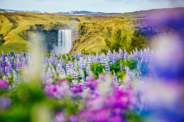 Lovely lupine glowing by sunlight. Location place Skogafoss waterfall, Skoga river, Iceland.
