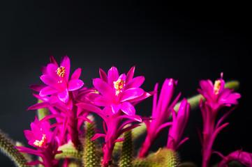 Cactus blossom against dark background