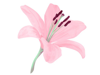 Vector isolated lily flower. Delicated pink delicated petals. Realism. Beauriful combination of colors. Object with transparent. EPS 10..