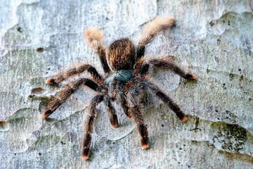 Big tropical spider