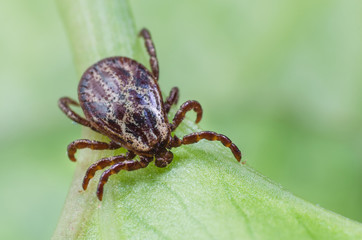 A dangerous parasite and infection carrier mite sitting on a green leaf