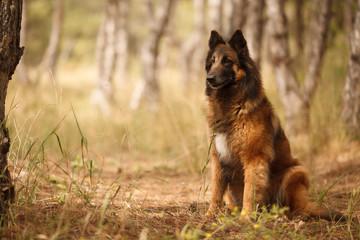 beautiful portrait of the dog of Belgian shepherd Tervuren for a walk