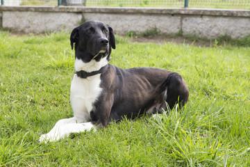 Cachorro preto e branco deitado num jardim.