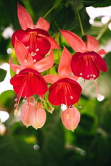 Beautiful blooming fuchsia plants in greenhouse. Close up view