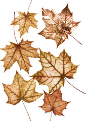 set of many bright multi-colored old dilapidated autumn maple leaves of different size on white isolated background