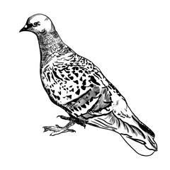 Dove. Bird of the world. Realistic. Sketch. Hand drawing. For your design. Icon.