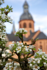Gute Luise - Blüten vom Birnbaum