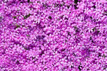 Top view on many purple blooms which fills complete space of photo