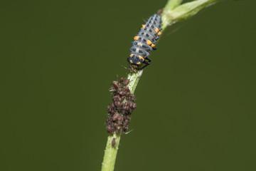 Marienkäferlarve frisst eine Blattlaus