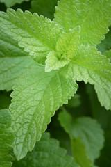 Herb in Garden