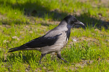 The crow walks along the green field.