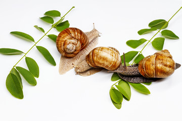 three snails and green leaves on a white background