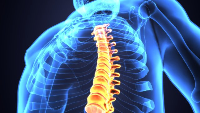3D Illustration of Spinal cord (Thoracic Vertebrae) a Part of Human Skeleton Anatomy
