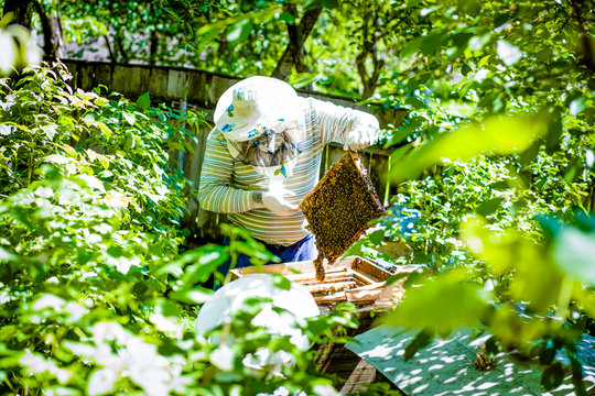 Frames of a bee hive. Beekeeper harvesting honey. The bee smoker is used to calm bees before frame removal.